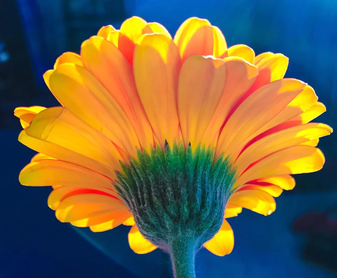 flower image for Kayhan Ghodsi