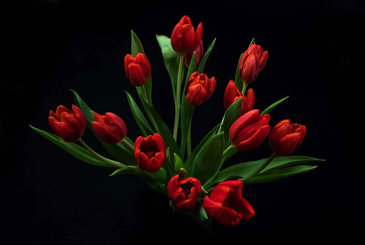 Image of tulips photographed by Kayhan Ghodsi